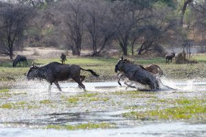 Wildebeest in Botswana (Foto: Brainstorm)