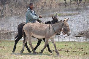Arbeitstiere in Botswana