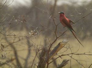 Bee-Eater in Bwabwata National Park