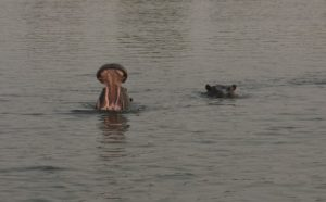 Hippos in Chobe River
