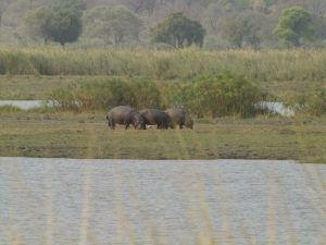 Hippos next to the Chobe River. rundreise namibia selbstfahrer.