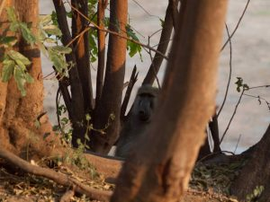 Baboon looking around tree in South Luangwa National Park