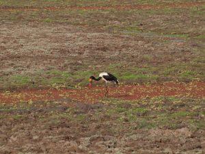 Saddle billed stork in South Luangwa National Park