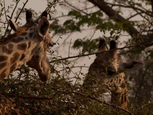 Giraffes in South Luangwa National Park