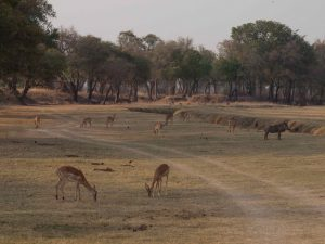 Pukus in South Luangwa National Park