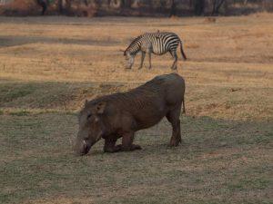 Warthog kneeling in South Luangwa National Park