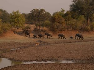 Herd of elephants crossing the Luangwa River