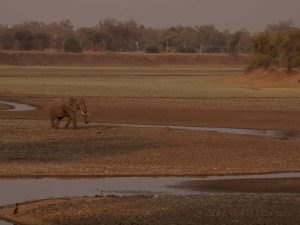 Elephant in Luangwa River bed