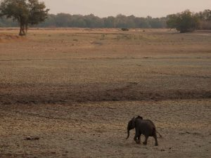 Lonely baby elephant in South Luangwa National Park