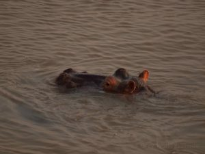 Hippos in Luangwa River at South Luangwa National Park