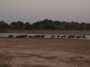 Huge herd of elephants in South Luangwa National Park