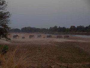 Herd of elephants crossing Luangwa river at night