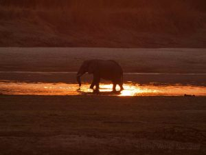 Evening glow hits water with elephant in South Luangwa National Park