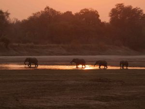 Elephants in evening glow