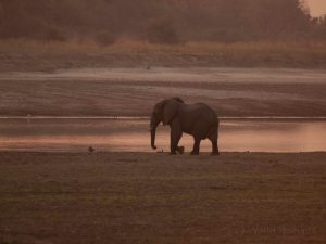 Elephant baby in evening glow at South Luangwa National Park
