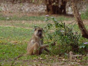 Baboon in South Luangwa National Park
