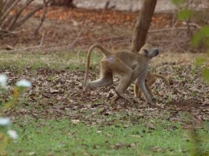 Baboons in South Luangwa National Park