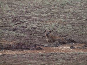 Hyena in South Luangwa National Park
