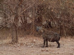 Fet hyena in South Luangwa National Park