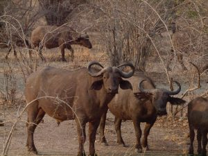 Buffalos in South Luangwa National Park