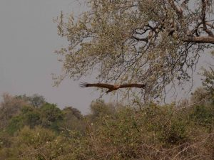 Arrival of the vultures in South Luangwa National Park