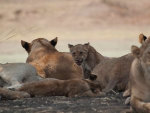 Lion pride in South Luangwa National Park