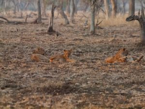 Invisible lions in South Luangwa National Park