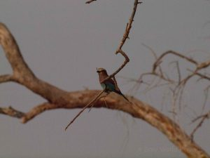 Kingfisher on branch in South Luangwa National Park