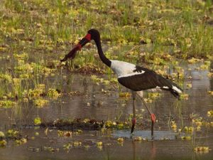 Beautiful colors of a saddle billed stork in South Luangwa National Park