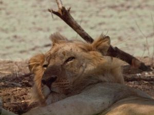 Sleepy face of a lion in South Luangwa National Park