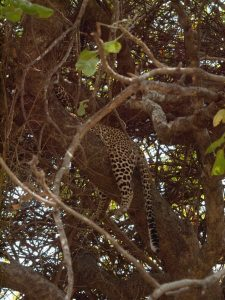 Leopard in tree at South Luangwa National Park