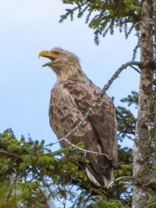 We spotted a juvenile sea eagle in the Wester Ross of Scotland. It is a positive sign for the successful reintroduction as sea eagles had been extinct in the 20th century for almost 60 years.