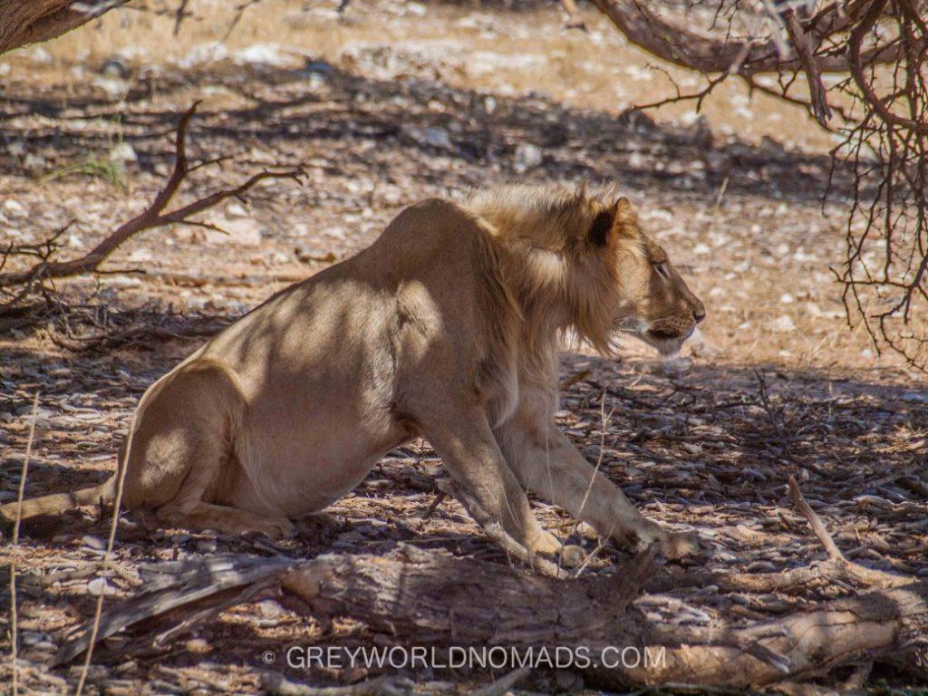Kgalagadi Transfrontier Park (Kalahari Gemsbok National Park) - Best Game Park in South Africa - Botswana for lion and cheetah - sightings and birding.