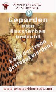 Geparden gehören zu meinen bevorzugten Wildkatzen. Leider sind sie vom Aussterben bedroht. In der Kalahari, Südafrika, konnte ich sie in der Wildnis beobachten