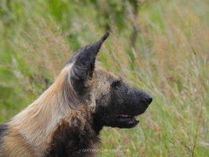 Greater Kruger National Park - Wild Dog