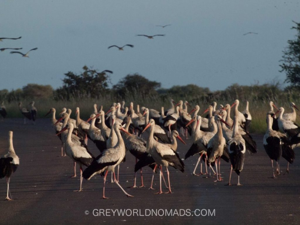 storks-on-road-kruger-southafrica-1.jpg