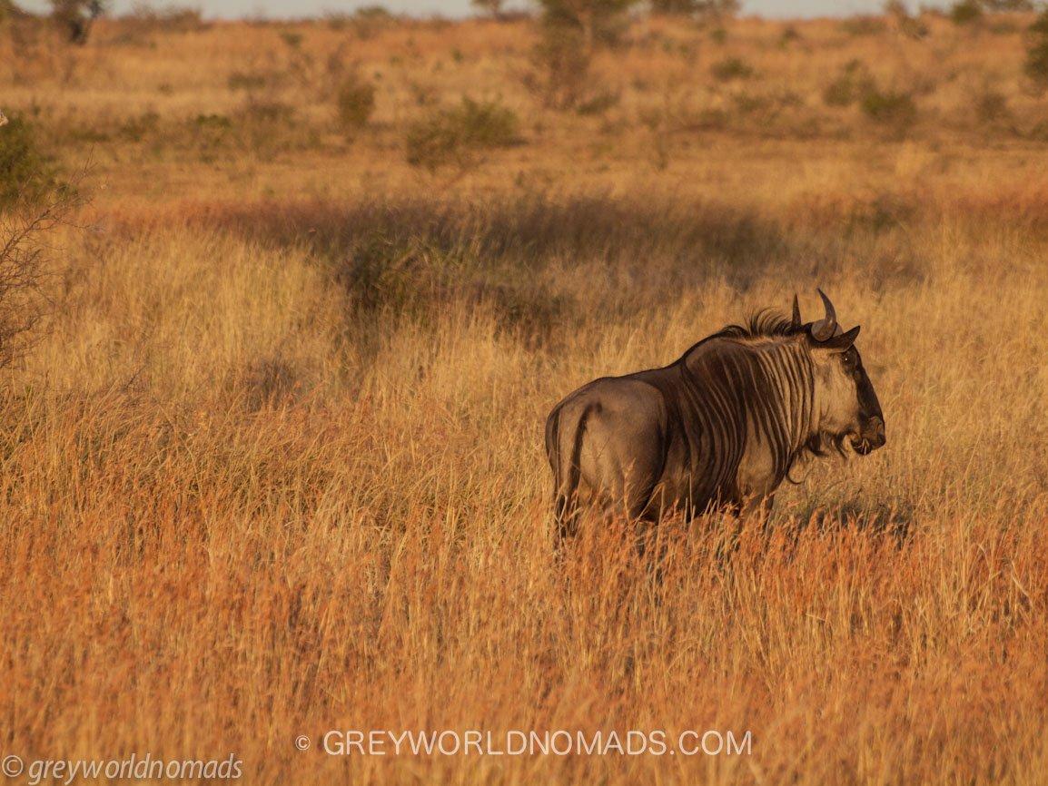 wildebeest-kruger-southafrica-1.jpg