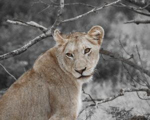 Young lioness, Kruger National Park, South Africa