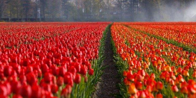 Holland Michigan Tulip Festival 2020.Amsterdam Flower Festival Tulip Fields Netherlands