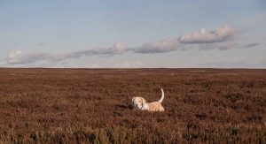 Our dog, Vlou, in the heather of North York Moors.