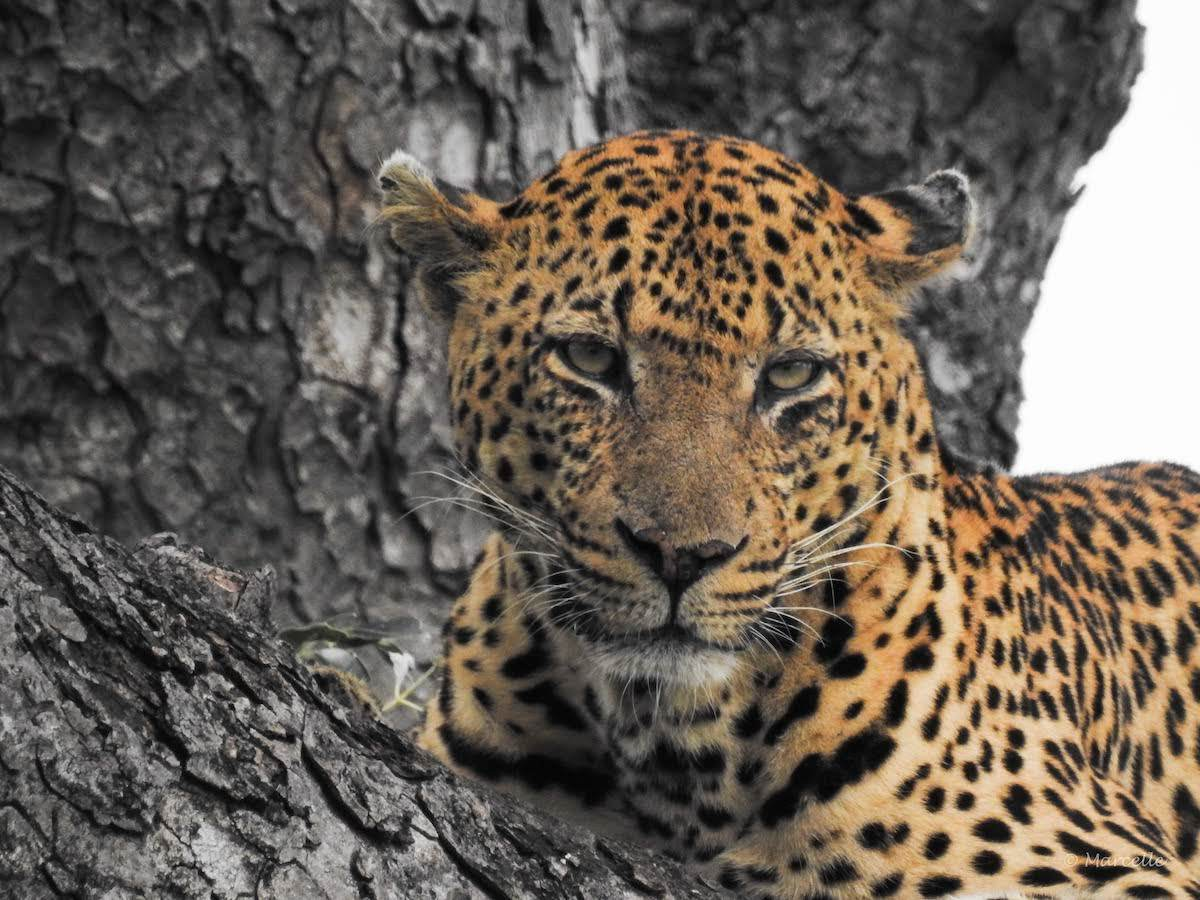 Leopard in Kruger National Park